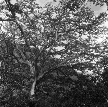 Carob from East, from the series We Wait in the Clear Mount